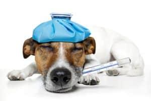 Kranker Hund mit Fieberthermometer im Maul