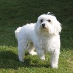 Der Malteser Hund