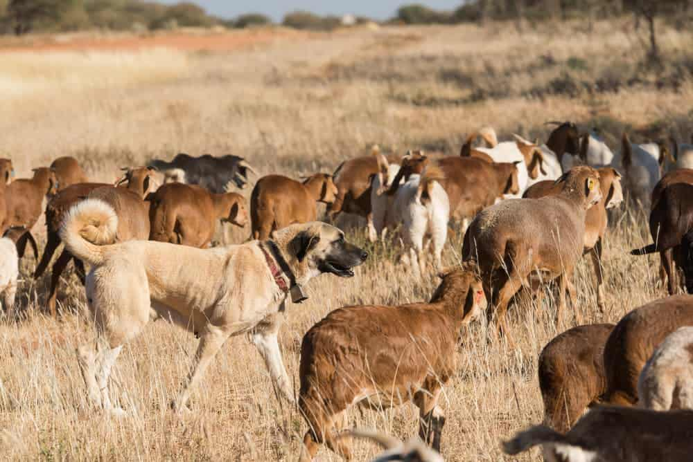 Herdenschutzhunde Livestock guarding dog amongst herd @ robertbradley