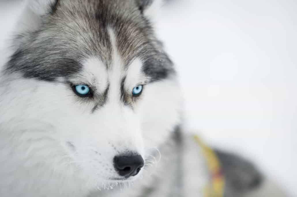 Rasseportrait Husky depositphotos.com Siberian husky sled dog closeup portrait @ Andrey_Kuzmin
