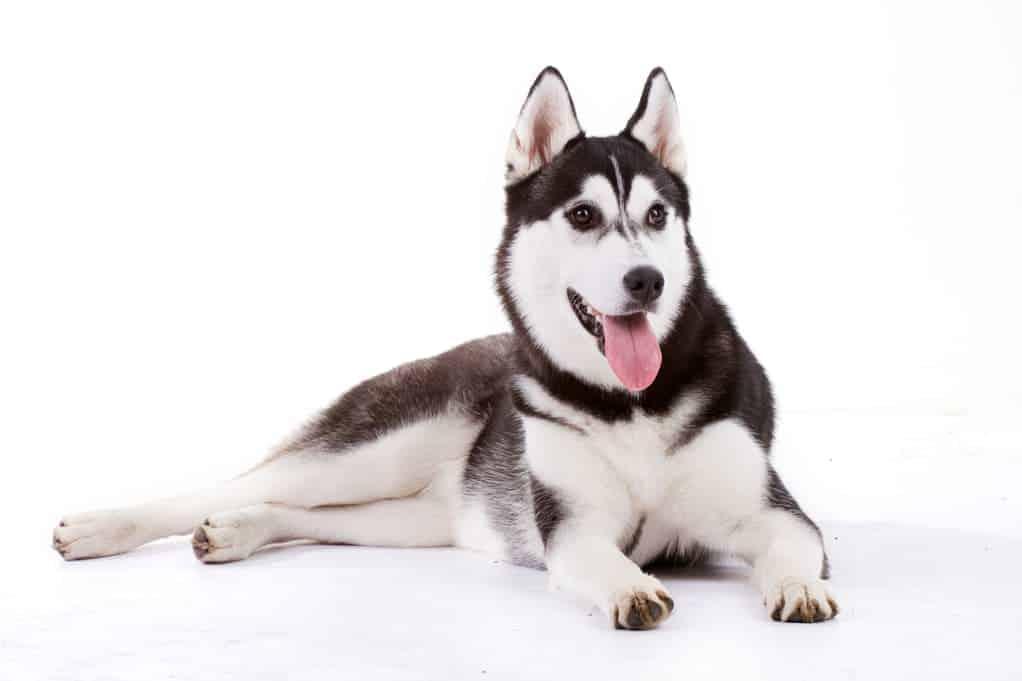Rasseportrait Husky