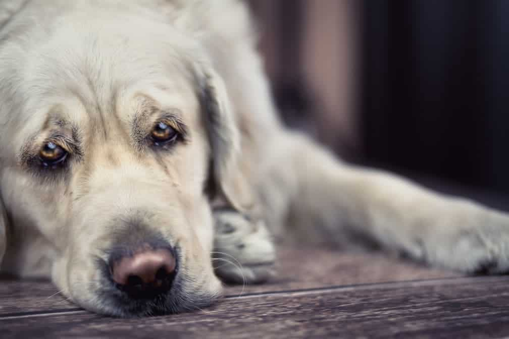 Hund schaut traurig