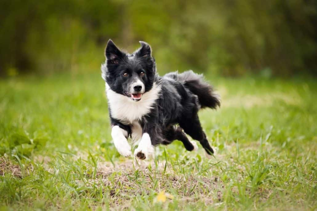 BorderCollie beim Treibball