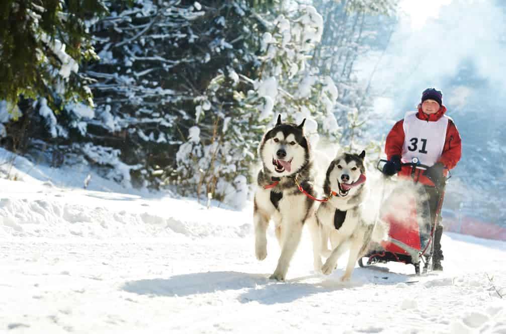 Huskies beim Schlittenhundrennen