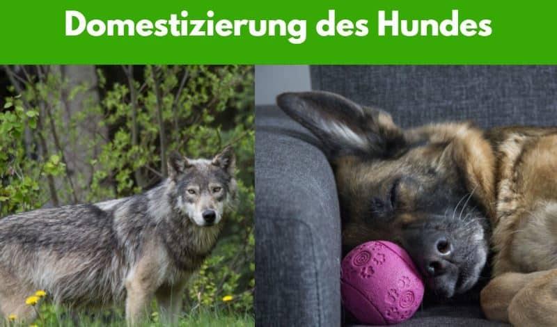 Wolf in freier Natur und Schäferhund auf dem Sofa