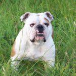 Die Englische Bulldogge