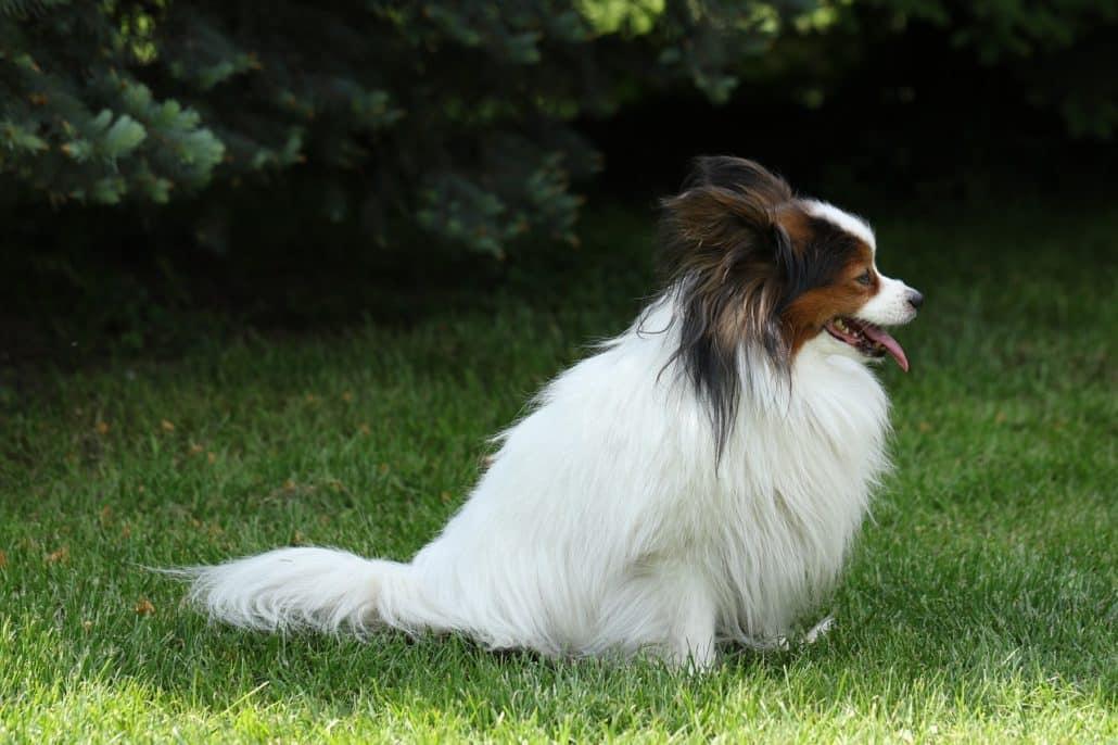Papillon - ein familienfreundlicher Hund