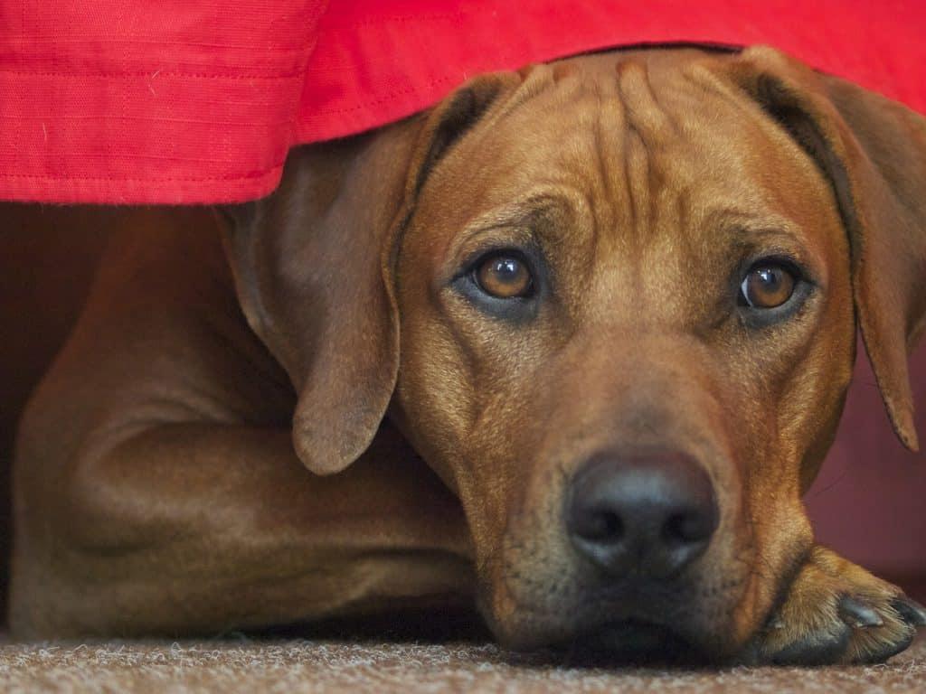 Rhodesian Ridgeback ist ein toller Familienhund