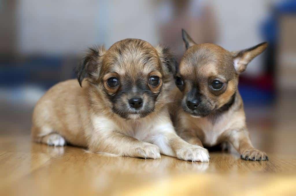 Zahnwechsel beim Chihuahua